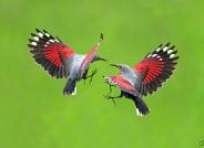 红翅悬壁在非求偶季节,见面免不了一场领地之争!