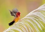 红梅花雀 (祝贺荣获首页鸟类精华)