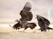 准备开抢--秃鹫 ---(恭贺获每日一图)