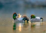 梳理--罗纹鸭