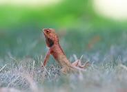 多情的树蜥