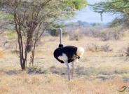 索马里鸵鸟