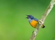 橙腹啄花鸟