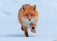 赤狐:猎物就是你!(荣获首页动物精华及版块佳作)