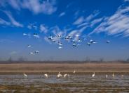 早安中国鸟网—— 鄱阳湖湿地准备迁徙的白鹤