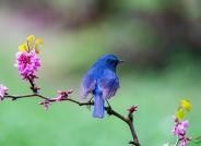 春俏枝头(蓝鹛林鴝)