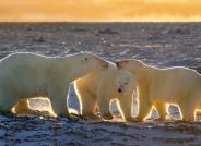 北极熊一家子的迁徙之路(祝贺荣获每日一图及本版佳作)