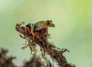 红眼树蛙(荣获华盈彩票精华)