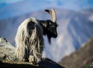 藏山羊  荣获华盈彩票精华