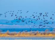 千只白头鹤群飞的壮观场景