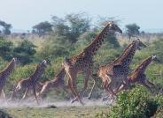 被狮子惊吓奔跑的长颈鹿