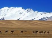 阿里地区的藏野驴(祝贺荣获华盈彩票精华)