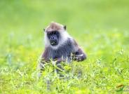 《万绿丛中》―― 斯里兰卡长尾猴~~贺图获《华盈彩票动物精华》