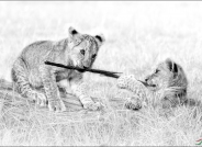 两只小狮子(祝贺华盈彩票精华!)