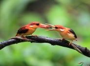 棕背三趾翡翠~~~贺图1获《首页鸟类精华》