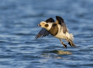 踏浪——长尾鸭