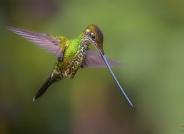 剑嘴蜂鸟(祝贺荣获首页每日一图)