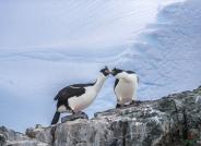 一对美丽的南极鸬鹚