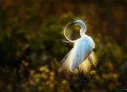 爱美的白鹭