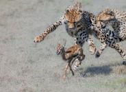 小豹子捕猎小羚羊(祝贺本版佳作和每曰一图!)