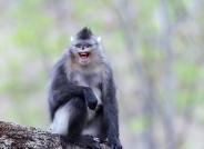 滇金丝猴拍摄于维西塔城---(恭贺首页精华)