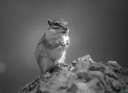 黑白—-花栗鼠