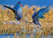 《难分高下》紫水鸡