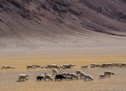 大漠放牧(获首页综合精华)
