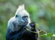 白头叶猴(获首页动物精华)