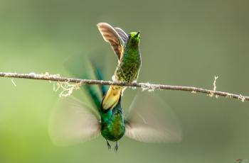 偷袭——绿带尾蜂鸟,棕尾蜂鸟.....贺获首页精华!