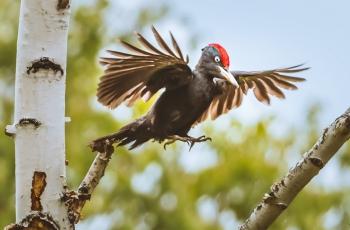 黑啄木鸟(恭贺荣获首页鸟类精华)