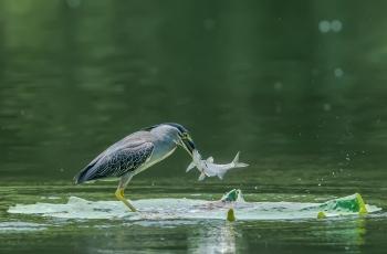 绿鹭抓鱼(祝贺荣获首页精华)