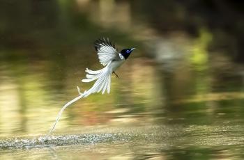 寿带(祝贺荣获首页鸟类精华)