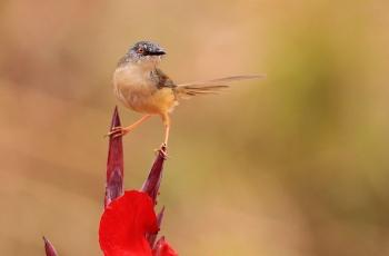 黄腹鹪莺(祝贺荣获首页鸟类精华)