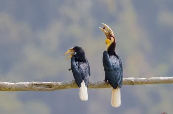 炫耀——花冠犀鸟