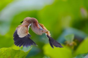 飞翔的黄苇鳽