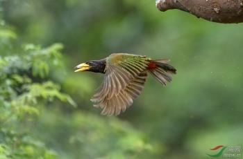 大拟啄木鸟---祝贺荣获鸟网首页精华!