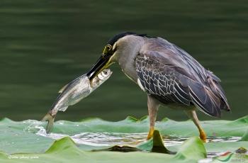 绿鹭捕鱼(贺获鸟类精华)