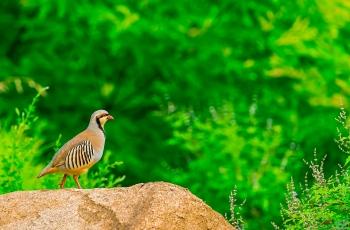 今日原生态自然生态场景石鸡