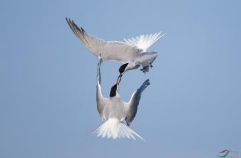 对决(普通燕鸥)(祝贺荣获鸟类精华)