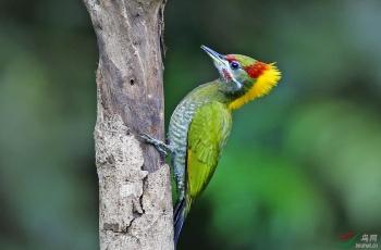 大黄啄木鸟(祝贺荣获首页鸟类精华)
