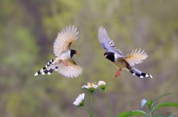 双雀戏花 (贺获鸟类精华)