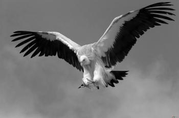 秃鹫 ------祝贺荣获首页黑白影像精华!