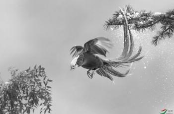 金鸡下凡 ------祝贺荣获首页黑白影像精华!