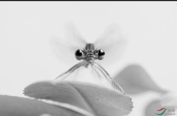 单色豆娘------祝贺荣获首页黑白影像精华!