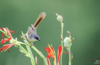 花鸟图---黄腹鹪莺(祝贺荣获首页鸟类精华)