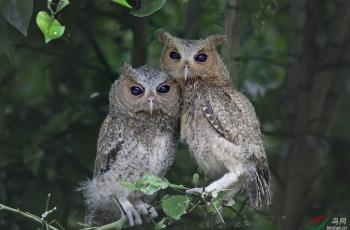 领角鸮---祝贺荣获鸟网首页精华!