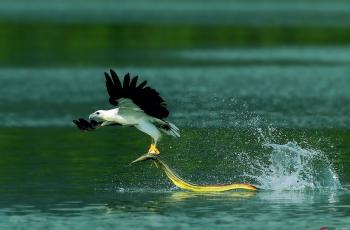 舞动彩带(鱼)---白腹海雕(祝贺荣获首页鸟类精华)