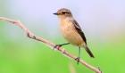 :黑喉石鵖雌鸟