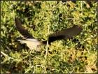 漠鵖青藏亚种(学名:Oenanthe deserti oreophila)